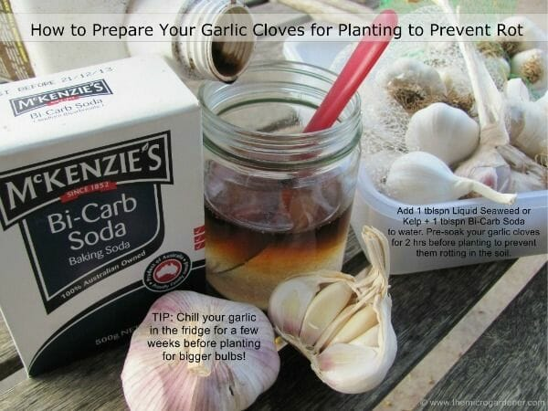 This is how to prepare garlic cloves for planting to prevent rot