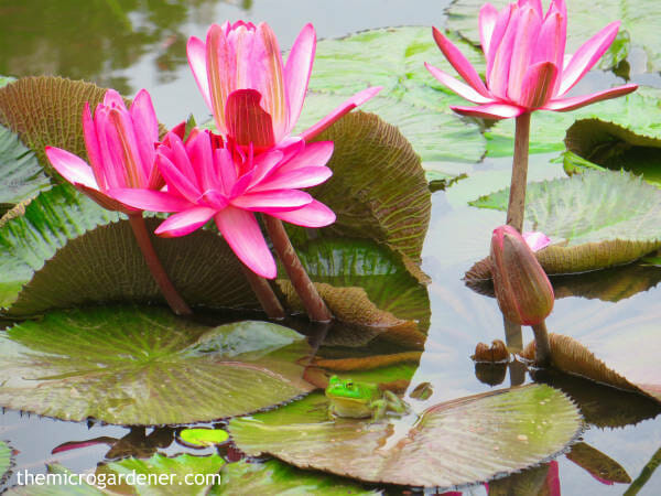 Frogs will take up residence even in a small pond. With a diet of insects, frogs will help with pest management. If you provide the house and there's a food source, they'll move in!| The Micro Gardener