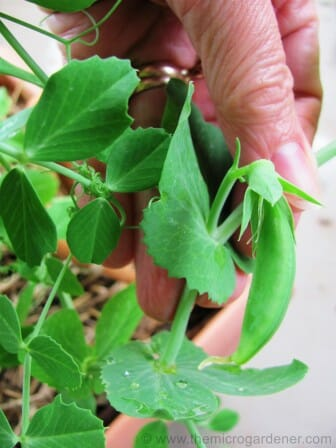 Pea pods ready for picking | The Micro Gardener