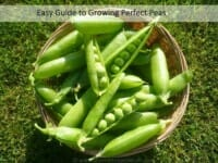 Easy Guide on How to Grow Peas