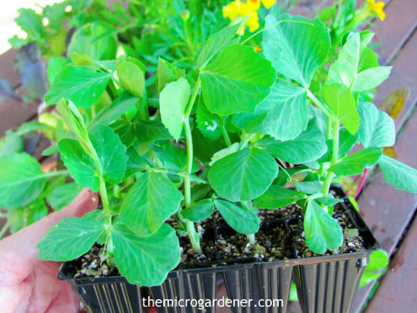 Sugar Snap Pea Seedlings - save time by planting seedlings if you have a short season.