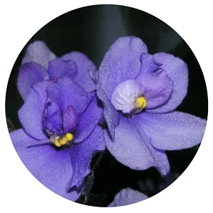 Anne Gibson - Public speaking to Caloundra African Violet & Indoor Garden Society members