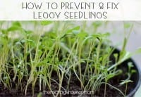 The stems on leggy seedlings are long and thin, but there are few or very tiny leaves.