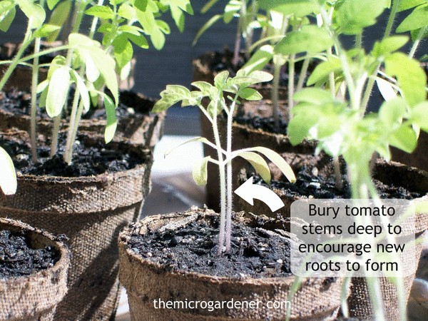 Leggy Seedlings Solution: If your tomato seedlings have long leggy stems, one solution is to plant them deep.