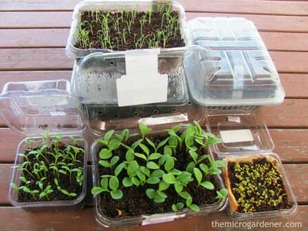 Seeds germinating into healthy seedlings in punnets with good light and moisture