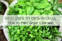 Easy Guide to Growing Basil-How to Plant Grow & Harvest Basil