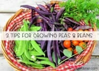 3 Tips for Growing Peas & Beans
