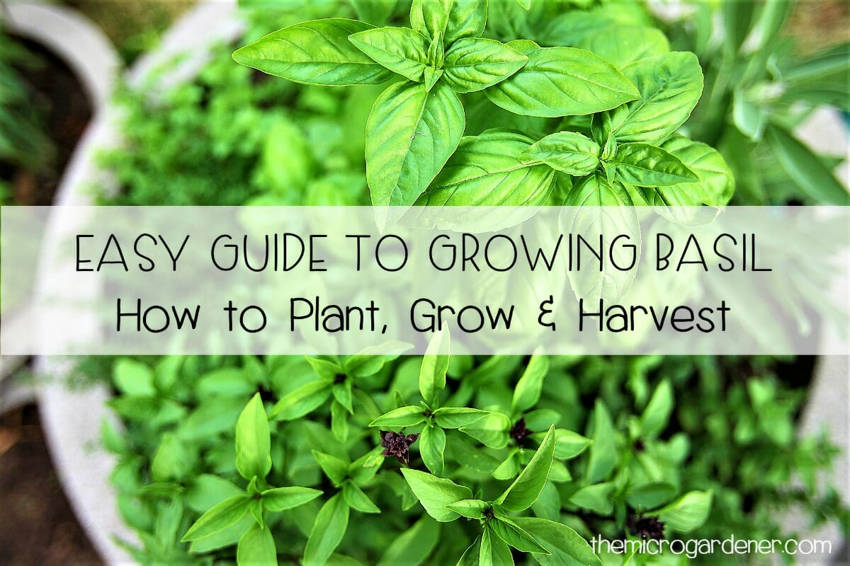 Easy Guide To Growing Basil The Micro Gardener