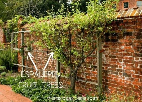 Espaliered fruit trees trained to grow in a narrow space against brick wall