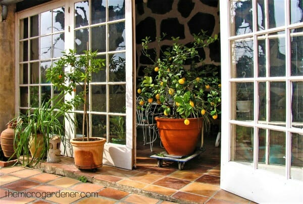 Lemon tree in portable container garden indoors in winter in a warm sunny microclimate with reflected heat through glass doors