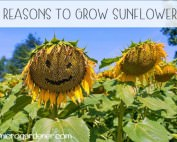 5 Reasons to Grow Sunflowers