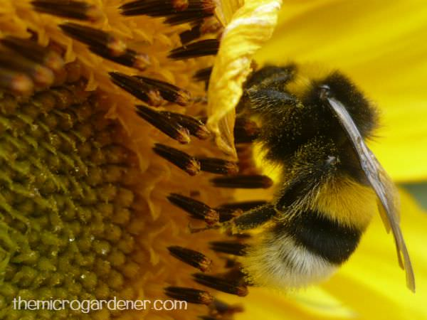 Bee pollinating and feeding on sunflower