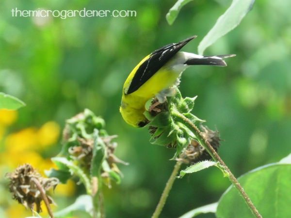 Gold finch feeding on sunflower seeds