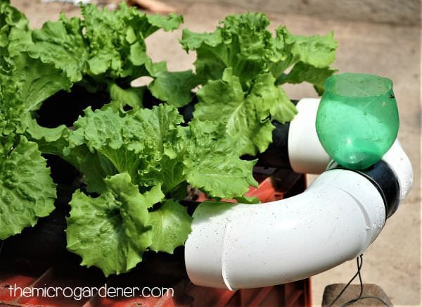 Hydroponic Lettuces Cultivated In A Pvc