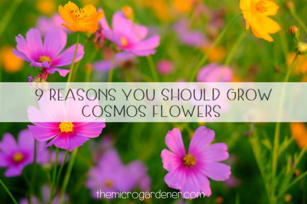 9 reasons you should grow cosmos flowers the micro gardener cosmos flowers mightylinksfo