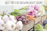 Best tips for growing root crops - The Micro Gardener