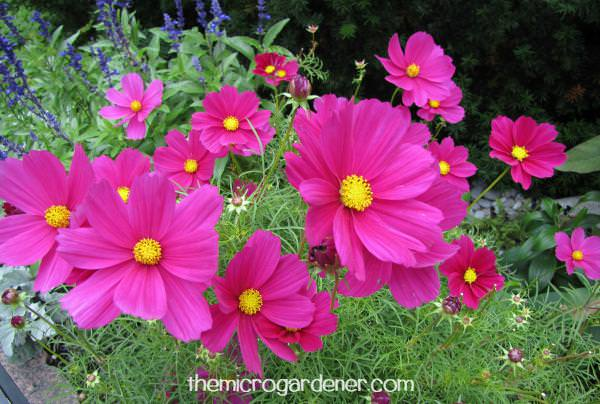 Cosmos add beauty and colour to your garden, especially when planted en masse.