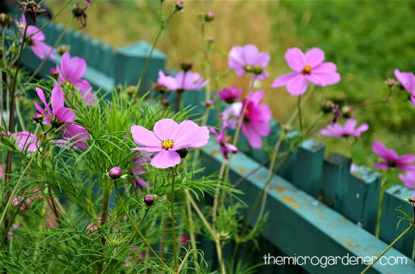 9 Reasons You Should Grow Cosmos Flowers The Micro Gardener