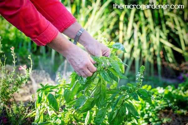 I am in the habit of picking fresh herbs daily for flavour and their health benefits