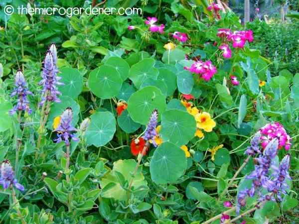 Companion planting with flowers and herbs under the mulberry tree