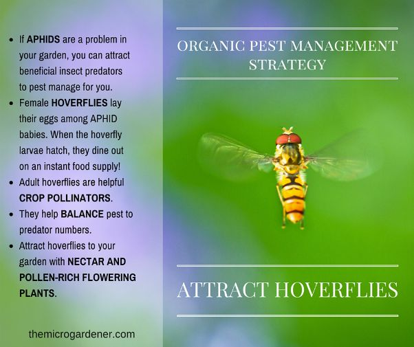 Hoverflies and aphids organic pest management strategy