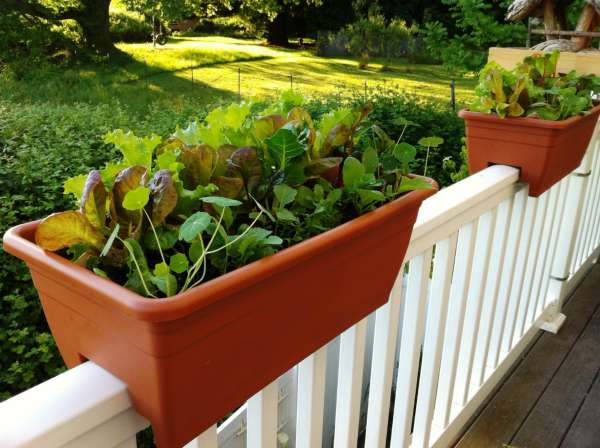 Grow More Food in a Small Garden Space Tip: These planters are intensively planted with salad ingredients like loose leaf lettuce, leafy greens and nasturtiums.