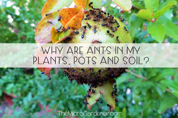 Why are Ants in my Plants, Pots and Soil?