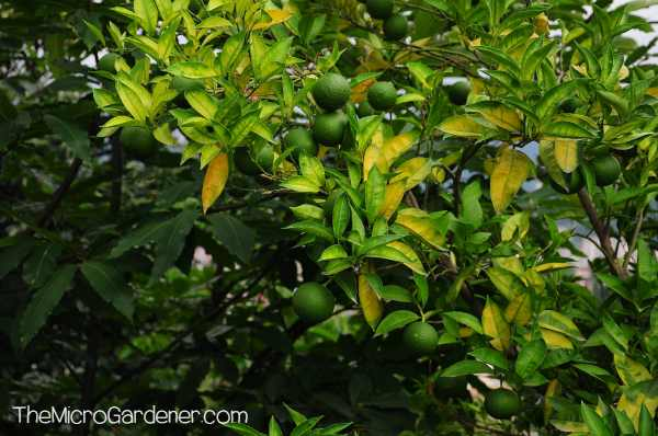 Immature green lemons on a heavily shaded, nutrient-deficient lemon tree
