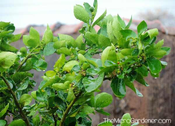 Why are my Lemons Staying Green not Yellow? - The Micro Gardener