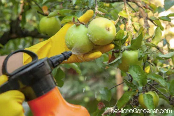 Chemical pesticides are routinely sprayed on apples in conventional orchards