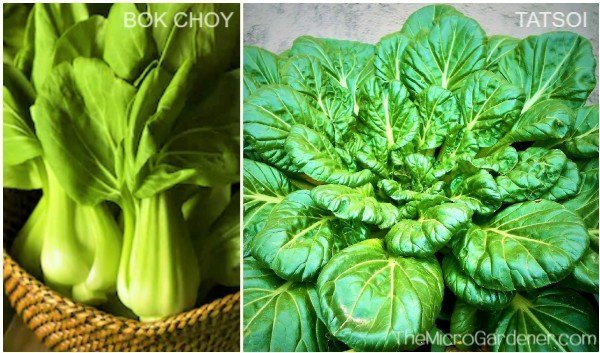 Bok choy and Tatsoi fast growing Asian green vegetabless