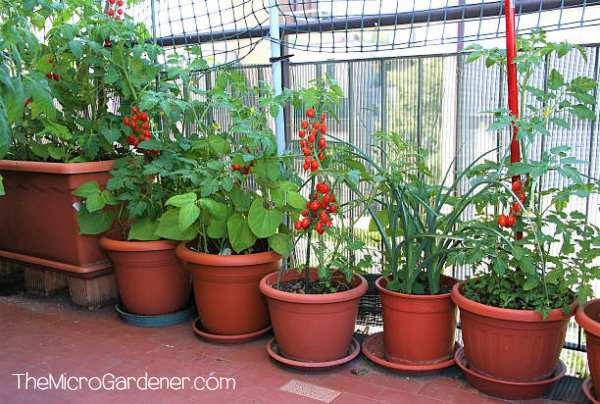 Grow food in container gardens for easier protection in hot and dry climates