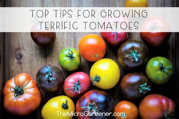 Top Tips for Growing Terrific Tomatoes