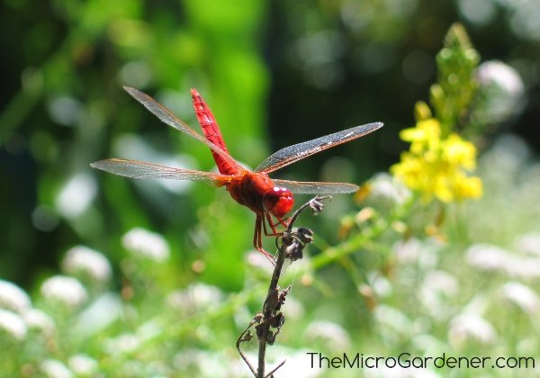 Dragonflies are beneficial predatory insects attracted to gardens with flowers